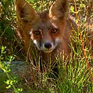 Sly Fox by James Anderson