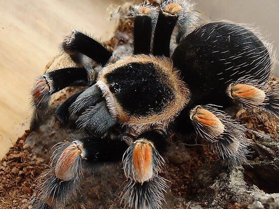 Mexican Redknee Tarantula Photographic Prints By Stompromper