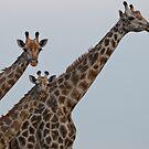 Giraffe Nursery by Andrew Lawrence