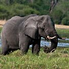 Elephant, Eating by Andrew Lawrence