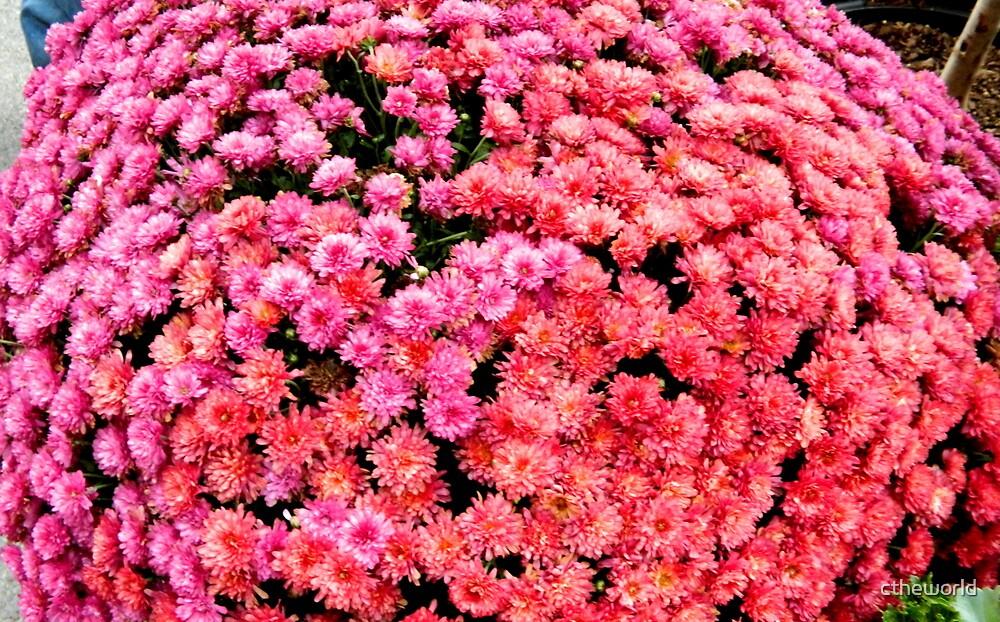 Pink Mums   ^ by ctheworld