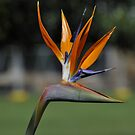 Bird of Paradise Flower by Tom Newman