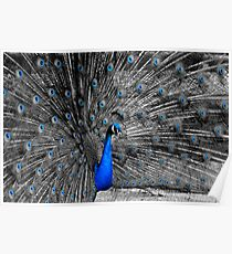 Selective Coloring Peacock Poster