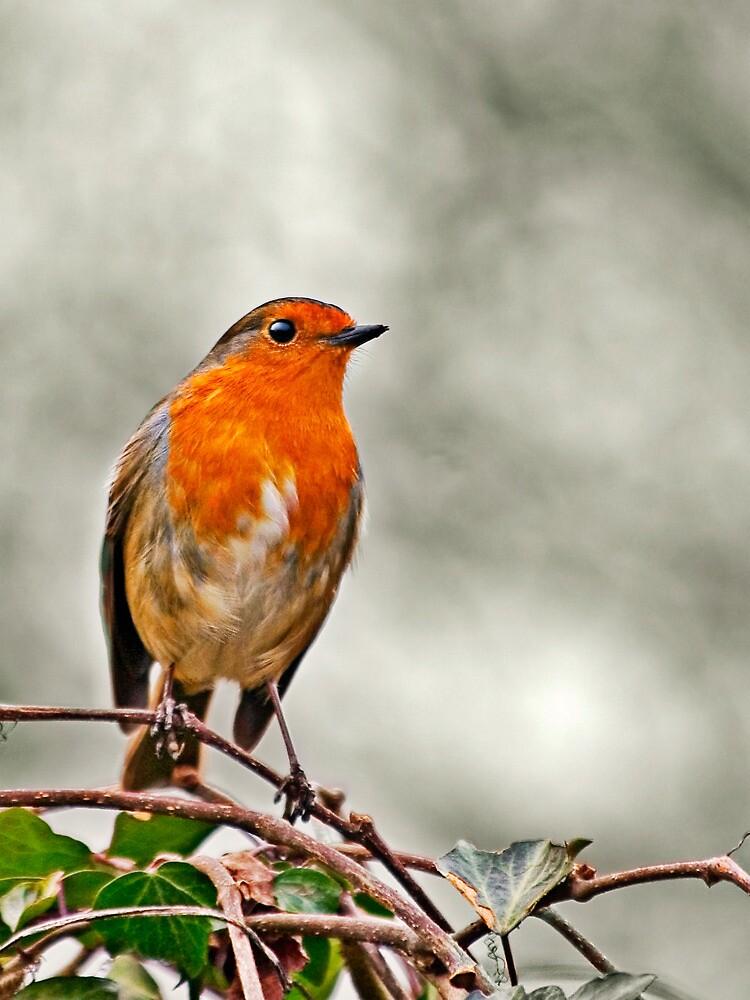 Robin on Ivy by Heather Buckley