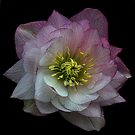 The Christmas Rose by EbyArts