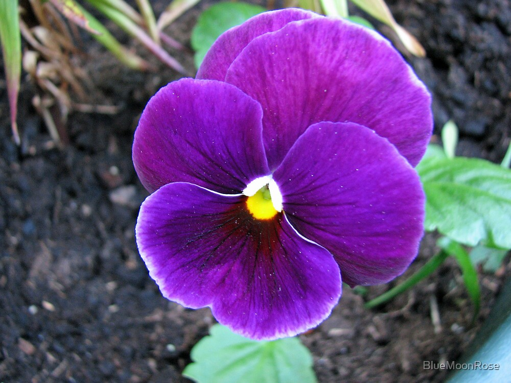 Cute Purple Pansy by BlueMoonRose