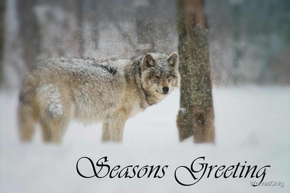 Timber Wolf Season Card 5 by WolvesOnly