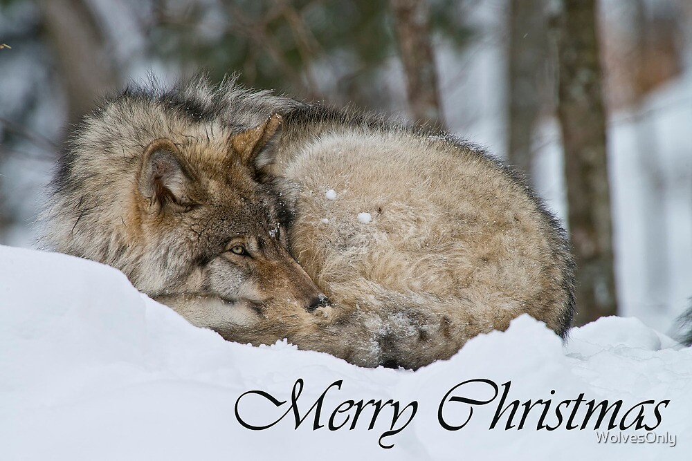Timber Wolf Christmas Card English 7 by WolvesOnly