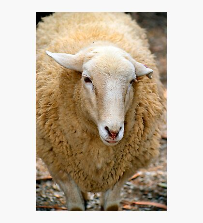 SA Sheep Photographic Print
