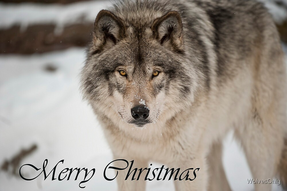 Timber Wolf Christmas Card English 8 by WolvesOnly