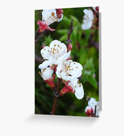 Apricot Blossom At Dawn Greeting Card