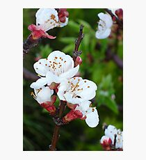 Apricot Blossom At Dawn Photographic Print