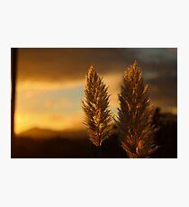 Pampas grass sunset  Photographic Print