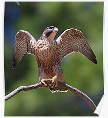 Peregrine Falcon (Falco peregrinus) Poster