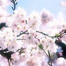 Lovely White Sakura Cherry Blossoms Spring Flowers by Beverly Claire Kaiya