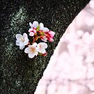 Beautiful Cherry Blossoms Blooming From Tree Trunk by Beverly Claire Kaiya