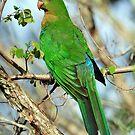 Female King Parrot. Cedar Creek, Queensland, Australia by Ralph de Zilva