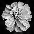 Flowerscapes - BW Waterdrops by lesslinear