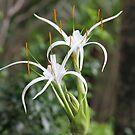 Spider Plant Growing Wild by aussiebushstick