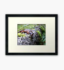 Oregon Ensatina Salamander Framed Print