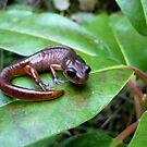 Oregon Ensatina Salamander 2 by Jess Meacham