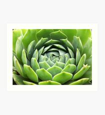 Sempervivum Grüne Rose Art Print