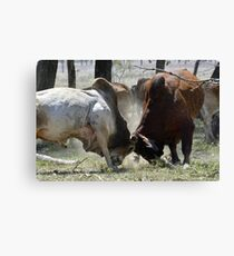 BULL FIGHT  IN THE OUTBACK Canvas Print