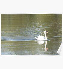 Swan swimming Poster