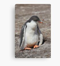 Baby Gentoo Penguin Waiting Canvas Print