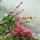 Grevillea in the rain by Vikki Shedden Photography