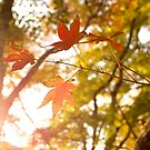 Sun Rays Through Momiji Trees (autumn in Japan) by parisiansamurai
