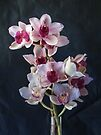 Orchids by DPalmer