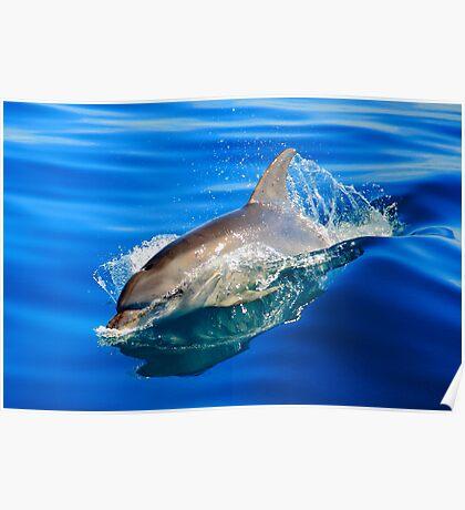 bottlenose dolphin. great oyster bay, tasmania Poster