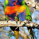 Rainbow Lorikeets. Cedar Creek, Queensland, Australia. by Ralph de Zilva