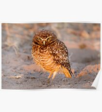 Burrowing Owl, Brazil Poster