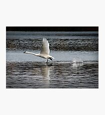 Trumpeter Swan walking on Water Photographic Print