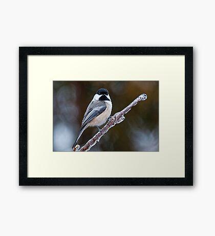 Chickadee on ice covered branch - Ottawa, Ontario Framed Print