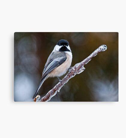 Chickadee on ice covered branch - Ottawa, Ontario Canvas Print