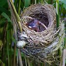 Cuckoo chick ejecting Reed Warbler egg by Richard Nicoll
