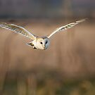 Barn Owl hunting by Richard Nicoll