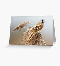 Male Bearded Tit Greeting Card