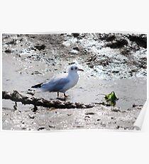 Seagull Having breakfast  Poster