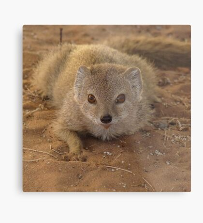 A study in mongoose Metal Print