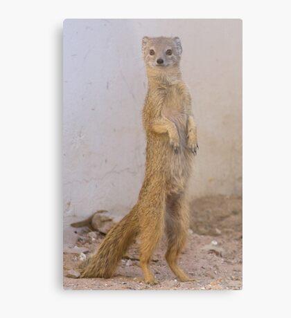 Mongoose stands tall Metal Print