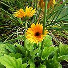 Yellow Flower After a Summer Shower II by ValSteve59
