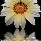 2605-white gazania by elvira1