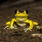 Stoney Creek Frog by D Byrne