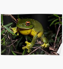 Litoria chloris - Red-Eyed Tree Frog Poster