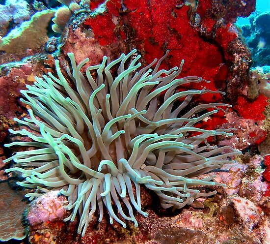Giant Green Sea Anemone feeding near Red Coral Reef Wall by Amy McDaniel