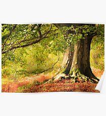 Autumn Beech in Cumbria Poster
